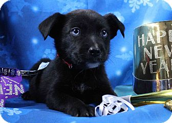 Retriever (Unknown Type)/Border Collie Mix Puppy for adoption in Westminster, Colorado - Cartagena