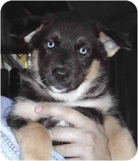 Norwegian Elkhound/Siberian Husky Mix Puppy for adoption in El Segundo, California - Toffee