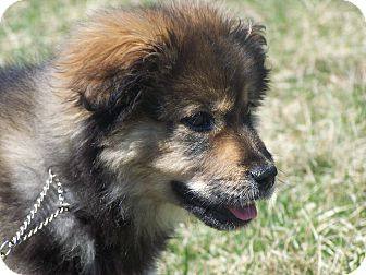 Keeshond Mix Puppy for adoption in Milford, New Jersey - Electra