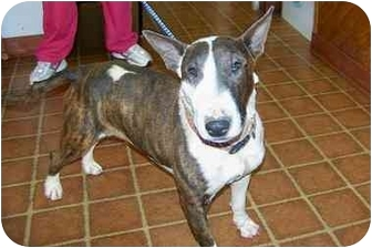 Bull Terrier Dog for adoption in Grover, North Carolina - Paris