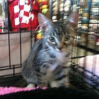 American Shorthair Cat for adoption in Cerritos, California - Ranger