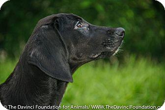 Labrador Retriever/Hound (Unknown Type) Mix Dog for adoption in Detroit, Michigan - Aussie