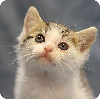 Domestic Shorthair Kitten for adoption in Winston-Salem, North Carolina - Aiden