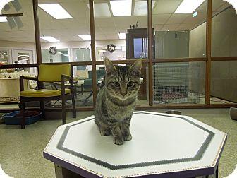Domestic Shorthair Kitten for adoption in Medina, Ohio - Sven
