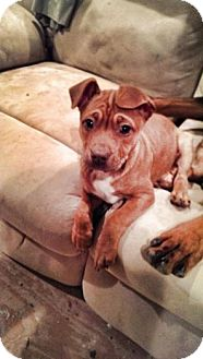 American Pit Bull Terrier/Pug Mix Puppy for adoption in Baltimore, Maryland - Betty