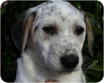 Australian Shepherd/Retriever (Unknown Type) Mix Dog for adoption in Vista, California - Izzie