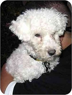 Poodle (Miniature) Puppy for adoption in Downey, California - JoJo