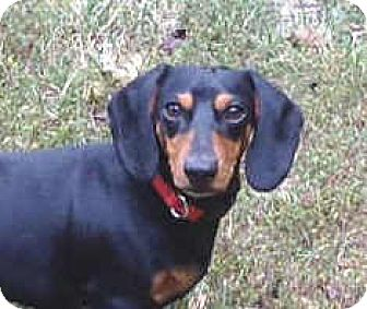 Dachshund Dog for adoption in North Little Rock, Arkansas - Whiskers