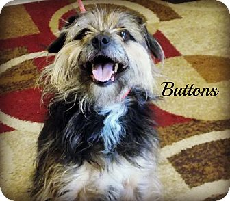 Yorkie, Yorkshire Terrier Mix Dog for adoption in Defiance, Ohio - Buttons