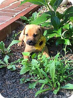 Mastiff Mix Puppy for adoption in Lima, Pennsylvania - Sandy