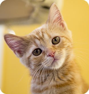 Domestic Shorthair Kitten for adoption in Chicago, Illinois - Sansa