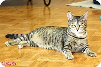 Domestic Shorthair Cat for adoption in Cedar Rapids, Iowa - Charm