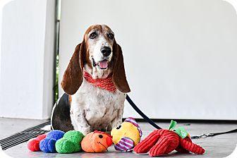 Basset Hound Mix Dog for adoption in Victoria, British Columbia - Daisy