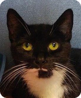 Domestic Shorthair Cat for adoption in West Warwick, Rhode Island - Casey