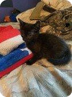 Domestic Shorthair Kitten for adoption in Hampton, Virginia - SHARE BEAR