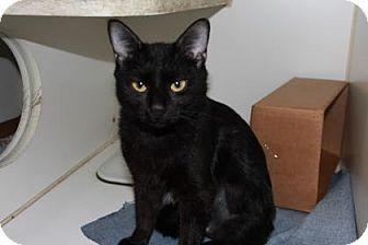 Domestic Shorthair Cat for adoption in Greensboro, North Carolina - Hanna