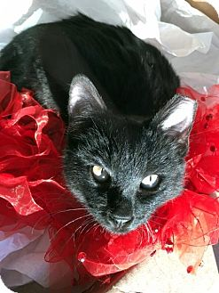 Domestic Shorthair Kitten for adoption in Las Vegas, Nevada - Majestic