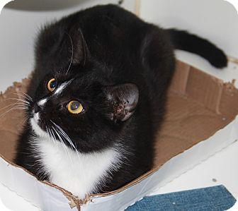 Domestic Shorthair Cat for adoption in Greensboro, North Carolina - Daisy