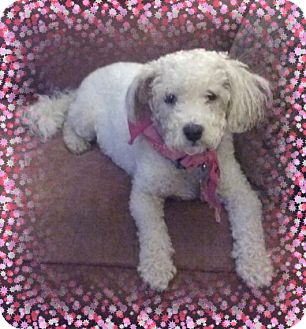 Bichon Frise Dog for adoption in Tulsa, Oklahoma - Adopted!! Charlie - OH