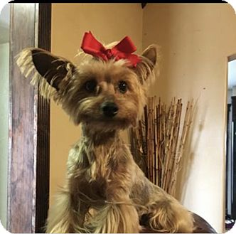 Yorkie, Yorkshire Terrier Mix Dog for adoption in Choctaw, Oklahoma - Lexi
