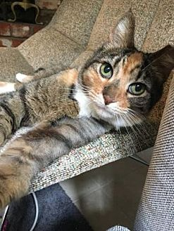 Domestic Shorthair Cat for adoption in Washington, D.C. - Vicky