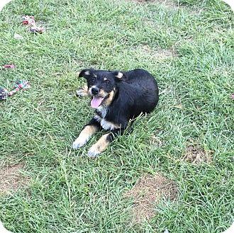 Shepherd (Unknown Type)/Terrier (Unknown Type, Medium) Mix Puppy for adoption in Blountstown, Florida - Boston