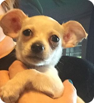 Chihuahua/Fox Terrier (Toy) Mix Puppy for adoption in Glendale, Arizona - CHARLESTON