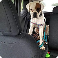 Adopt A Pet :: El Dorado - Austin, TX