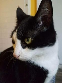 Domestic Shorthair/Domestic Shorthair Mix Cat for adoption in West Palm Beach, Florida - Nemo