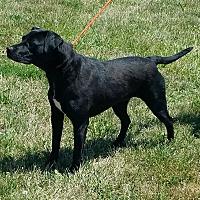 Adopt A Pet :: Bindi - Cameron, MO