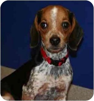 Beagle Puppy for adoption in Waldorf, Maryland - Spaghetti