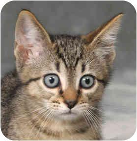 Domestic Shorthair Kitten for adoption in Chicago, Illinois - Neptune