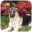 Photo 3 - German Shepherd Dog Dog for adoption in Rochester/Buffalo, New York - Whiskey