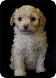 Bichon Frise Mix Puppy for adoption in La Costa, California - Jeremy