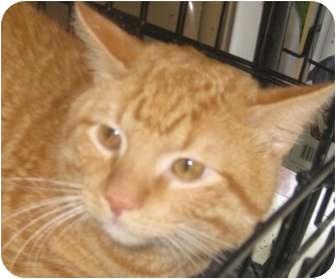 British Shorthair Cat for adoption in Dallas, Texas - Matlock