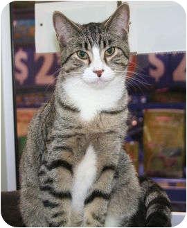 Domestic Shorthair Cat for adoption in Edmonton, Alberta - Joey