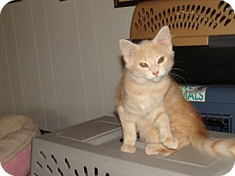 Domestic Mediumhair Kitten for adoption in Spotsylvania, Virginia - Jill