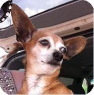 Chihuahua Mix Dog for adoption in Astoria, New York - Bonnie Rait