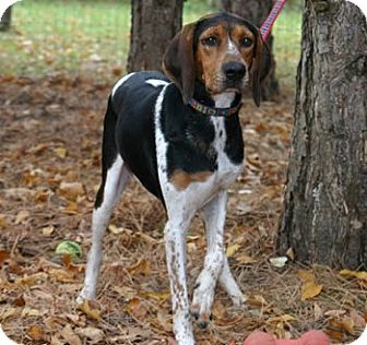 Coonhound Mix Dog for adoption in Avon, New York - Higgs