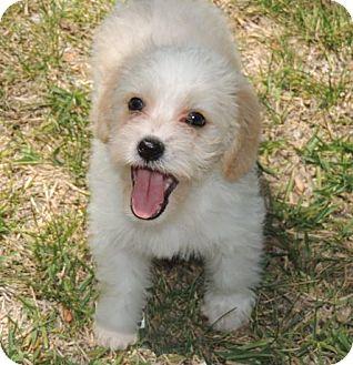 Cockapoo Mix Puppy for adoption in La Habra Heights, California - William