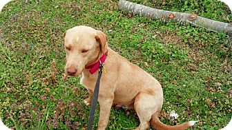 Labrador Retriever/Weimaraner Mix Dog for adoption in Homewood, Alabama - Bowser