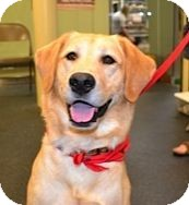 Labrador Retriever Dog for adoption in San Francisco, California - Red