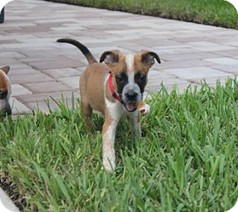 Australian Cattle Dog/American Staffordshire Terrier Mix Puppy for adoption in Ft. Myers, Florida - Butter