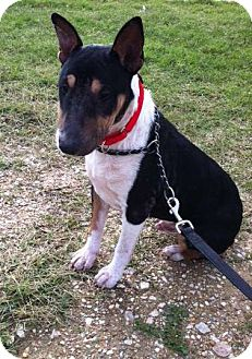 Bull Terrier Dog for adoption in Houston, Texas - Collin