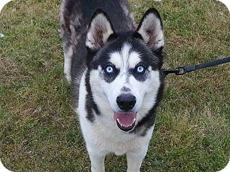 Siberian Husky Dog for adoption in Clay, Alabama - Tesla