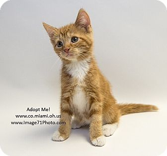 Domestic Shorthair Kitten for adoption in Troy, Ohio - Archie