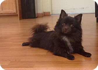 Chihuahua/Pomeranian Mix Dog for adoption in New York, New York - Bennett