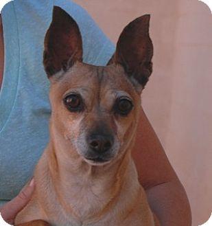 Miniature Pinscher Mix Dog for adoption in Las Vegas, Nevada - Celeste