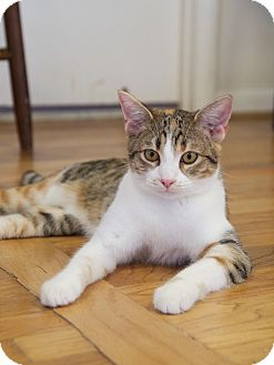 Domestic Shorthair Cat for adoption in Homewood, Alabama - Casey