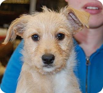 Terrier (Unknown Type, Medium) Mix Puppy for adoption in Brooklyn, New York - Faith